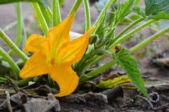 Fleur de courgette photo stock