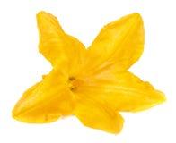 Fleur de courgette d'isolement sur le macro blanc de fond images stock