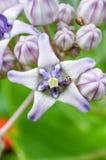 Fleur de couronne Photo libre de droits