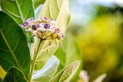 Fleur de couronne Photo stock