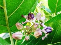 Fleur de couronne Image libre de droits