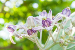 Fleur de couronne de plan rapproché avec le beau fond clair Image stock