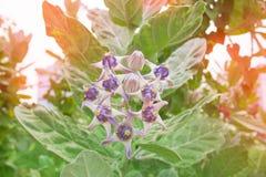 Fleur de couronne, fleur thaïlandaise d'amour d'appel Photos stock