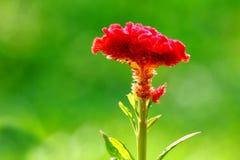 Fleur de crête - fleur de laine - celosia de cerveau Photographie stock