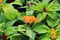 Fleur de crête ou argentea emplumée orange de Celosia beau dans le jardin Image stock