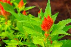Fleur de crête ou argentea emplumée orange de Celosia beau dans le jardin Photographie stock