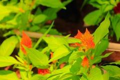 Fleur de crête ou argentea emplumée orange de Celosia beau dans le jardin Photographie stock libre de droits