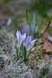 Fleur de crocus Photo libre de droits