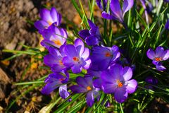Fleur de crocus Photos libres de droits