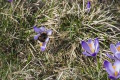 Fleur de crocus avec le bourdon Photos libres de droits