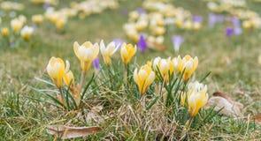 Fleur de crocus dans le printemps tôt sur l'herbe verte photos stock