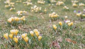 Fleur de crocus dans le printemps tôt sur l'herbe verte Photo stock