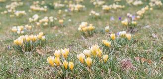 Fleur de crocus dans le printemps tôt sur l'herbe verte Images stock