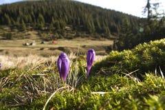 Fleur de crocus dans les montagnes Photo libre de droits