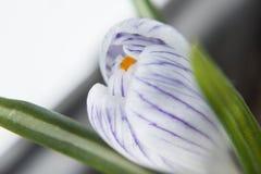 Fleur de crocus diagonalement. Photo stock