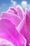 Fleur de Cyclamen photographie stock