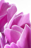 Fleur de Cyclamen photo libre de droits