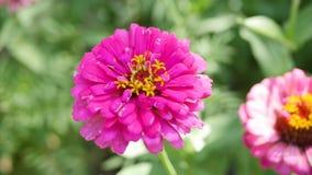 Fleur de Cynium banque de vidéos
