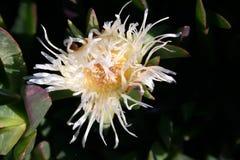 Fleur de défaite de nuit Image libre de droits