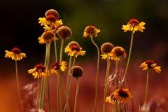 Fleur de désert Image stock