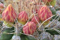 Fleur de désert Photos libres de droits