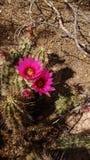 Fleur de désert Photo libre de droits