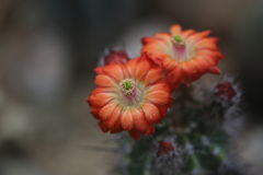 Fleur de désert Photographie stock libre de droits