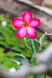 Fleur de désert, adenium Photographie stock