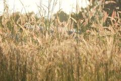 Fleur de fleur d'herbe sauvage de silhouette dans le côté de pays images stock