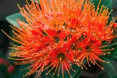 Fleur de fleur d'Ixora dans un jardin Transitoire rouge flowe1 images stock
