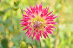 Fleur de dahila d'automne Images stock