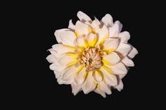 Fleur de dahlia Images libres de droits