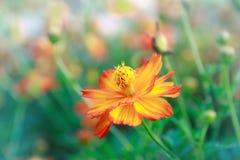 Fleur de dahlia Photos stock