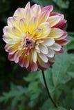 Fleur de Dahlia Photo libre de droits