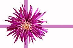Fleur de dahlia Photos libres de droits