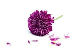 Fleur de Dahlia Autumn d'isolement sur le fond blanc Photographie stock