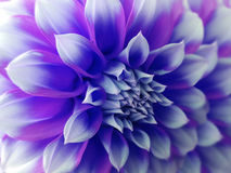 Fleur de dahlia, blanc bleu closeup Beau dahlia la fleur de vue de côté, le fond lointain est brouillée, pour la conception Images libres de droits