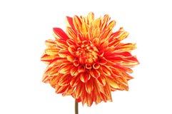 Fleur de dahlia d'isolement Photographie stock