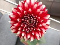 Fleur de dahlia d'isolement image stock