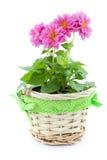 Fleur de dahlia dans le panier Photos stock