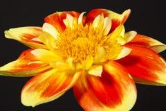 Fleur de dahlia peuh photographie stock