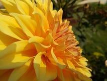 Fleur de dahlia plus étroitement vers le haut de clic photos stock