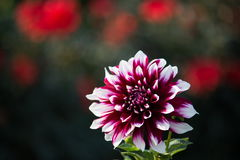 Fleur de dahlias Photographie stock