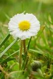 Fleur de DaisyBellis avec les pétales blancs et le coeur jaune photos libres de droits