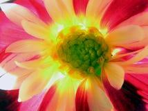 Fleur de Dalia Photographie stock