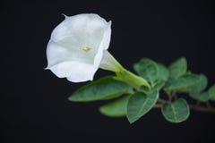 Fleur de datura Photographie stock libre de droits
