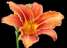 Fleur de Daylily Photographie stock libre de droits