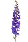 Fleur de Delphinium Photos stock