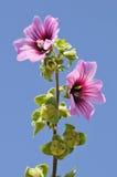 Fleur de dendromorpha de Malva Image libre de droits
