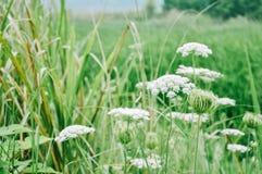 Fleur de dentelle du ` s de la Reine Anne photographie stock libre de droits